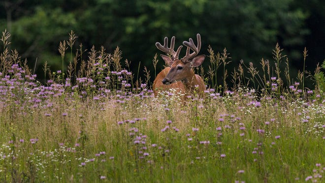 A white-tailed deer moves through a field at a land conservancy in southeastern Wisconsin.