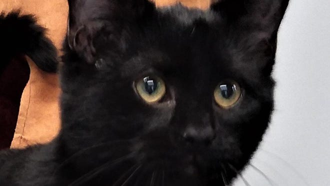 Shelter: BG; Name: Piper; Breed: Shorthaired black kitty; Gender/age: F, 8 months; Neutered/spayed: Yes; Housebroken: Yes; OK with kids: Older kids only; Special needs: Best as only pet in home; Other: Loves to play and independent but can be affectionate on her terms.