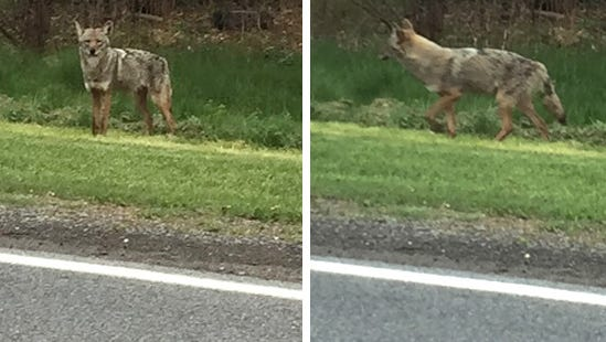 This coyote was seen on Sutton Road in Geneva, Ontario County, on Monday, May 2.