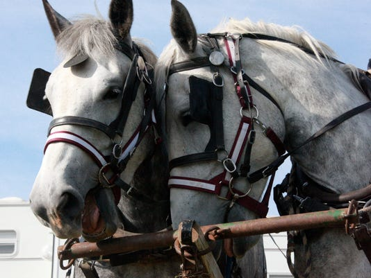 Percheron Field Day - Lily and Donna,