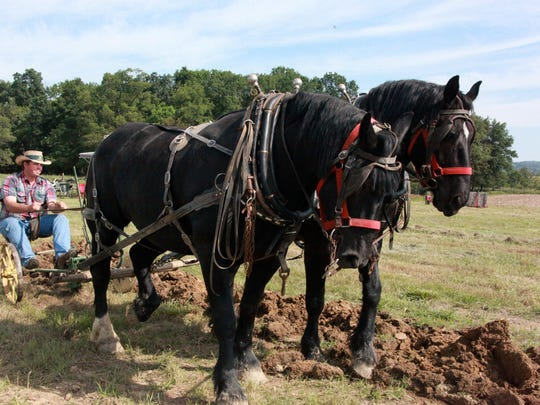 Sammy Shuey of Swoope drives his draft horse team,