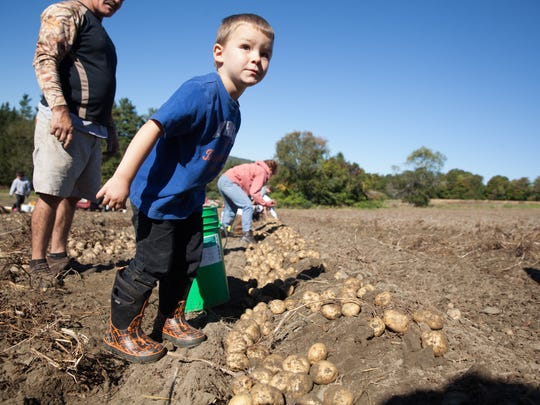 Carter Weeks, 3, of Webster, watches the tractor pass to reveal potatoes on Chappelle's Potato Farm's annual pick-your-own potato weekend, Sept. 27.