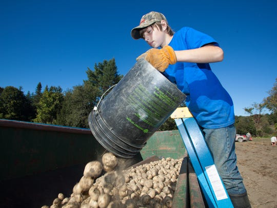 Tristan Covey, 13, of Williamstown, collects potatoes