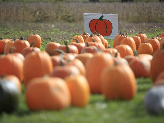 Dozens of pumpkins are collected at the front of a