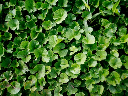 Gotu kola at Gaia Herbs farm in Brevard.