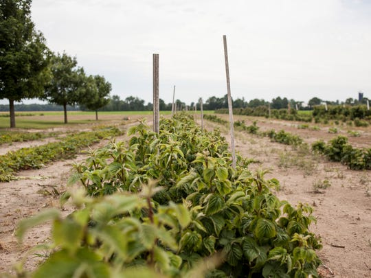 A line of raspberry bushes are seen Thursday, June