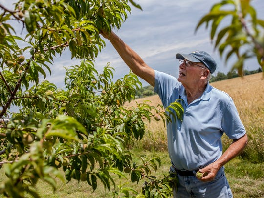 Marvin McCallum looks over a peach tree Thursday, June