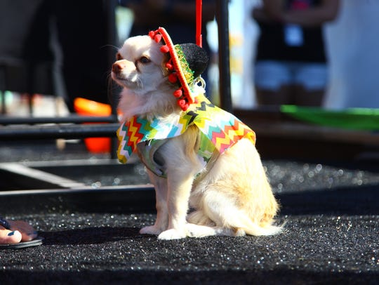 A contestant for the Tiny Taco Dog Beauty Pageant at