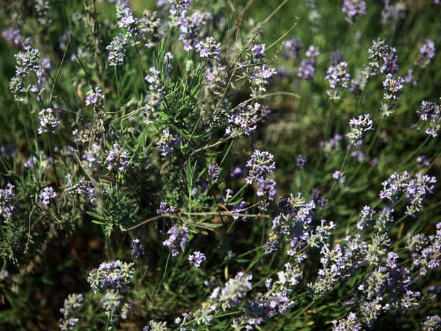 Don T Prune Lavender In Winter Or It Will Die