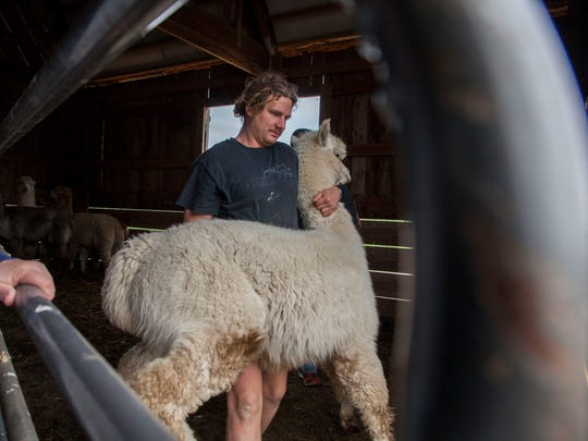Joel Kuhl, one of the owners of Springtime Farms, right, watches as Ben Dover, of New Zealand carries an alpaca from its holding area out to be sheared by a professional shearer from New Zealand for Alpaca Shearing Day at Springtime Farms in Salem, Oregon Saturday May 26, 2018. About 45 alpacas received their summer cut during the annual event. It is important for the alpacas to get these cuts so they can stay cooler going into the summer months.