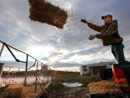 Caesar Rodney student Andrew Frankos, 17, unloads bales of hay to spread around the turkey pen before their feeding time at T.A. Farms Friday, November 14, 2014.
