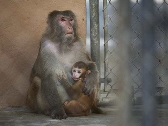 A female macacque monkey and its baby sit in an enclosure at Primate Products in Hendry County on Wednesday 7/16/2015. Primate Products has a disaster plan in case of a storm or other event.