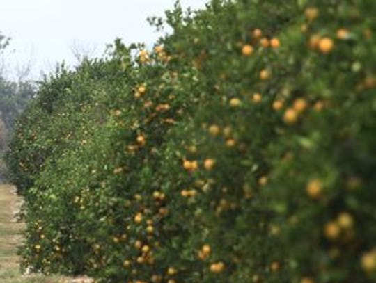 Citrus grows under the Florida sunshine. King Ranch, the state's second largest citrus producer, purchased lands in the PIne Island area that some people fear will be developed into a gated community.