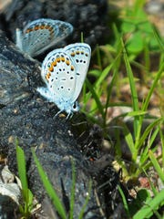 Karner blue butterflies and broad-headed bugs seek nourishment atop a pile of fresh coyote scat at the Necedah National Wildlife Refuge.