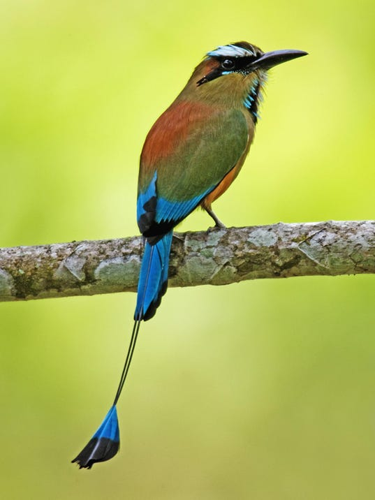 Exotic motmots are just another bird in Costa Rica