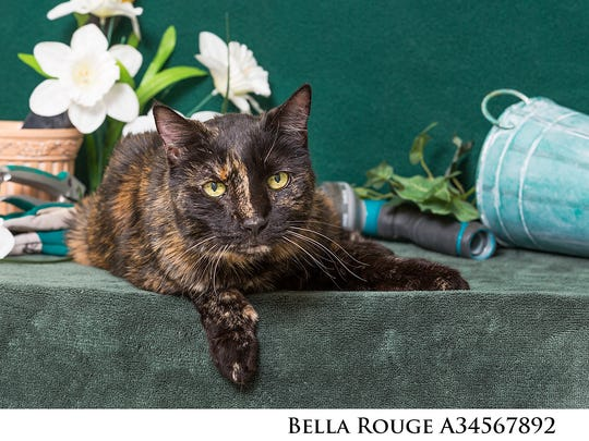 Bella Rouge is a special-needs kitty, whose adoption fee will be waived and medical expenses covered under the Nevada Humane Society's Angel Pets program.