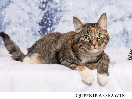 Hi, I'm Queenie! I know, my looks get your attention, and hopefully my purrsonality will too! A little sweet, a little shy, I'm the kind of gal who needs someone to be patient with me and let me warm up to them slowly. Change is a big adjustment for anyone, but I work hard at letting my affection show! Just know I'm charming, friendly and curious and meet me today!
