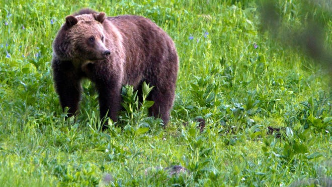 Montana wildlife officials have relocated two grizzlies to get them away from residential areas and livestock.