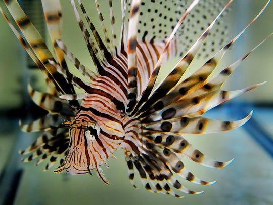 Lionfish have thrived in the waters off Florida since
