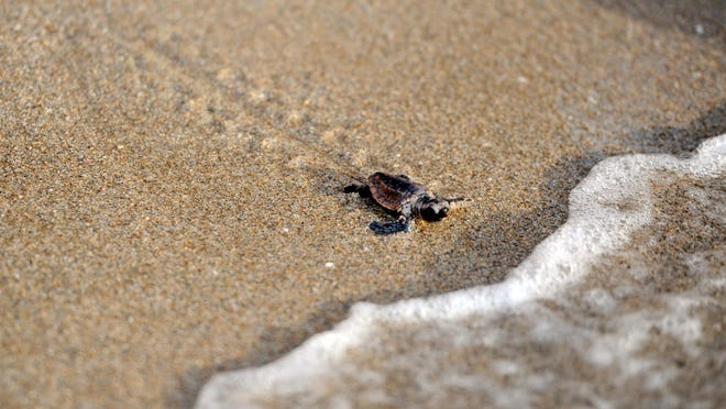 A turtle works his way into the surf at the Lantana Public Beach.