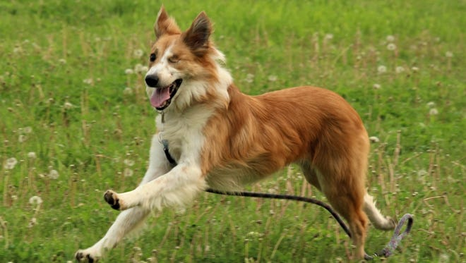 Fred, one of the rescued border collies, was the last to be adopted. He's reported to be doing well.