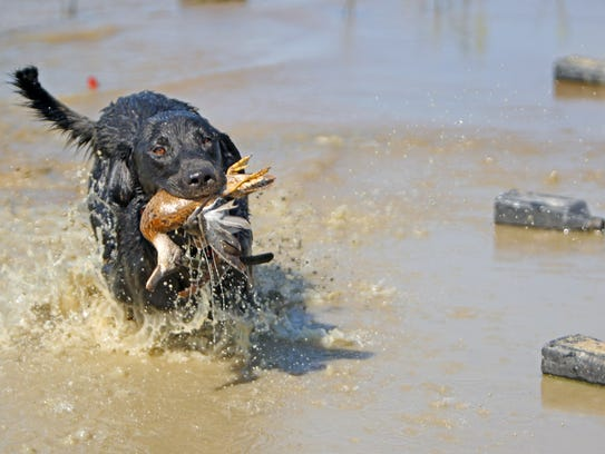 Beau races to return a teal during a late-season teal