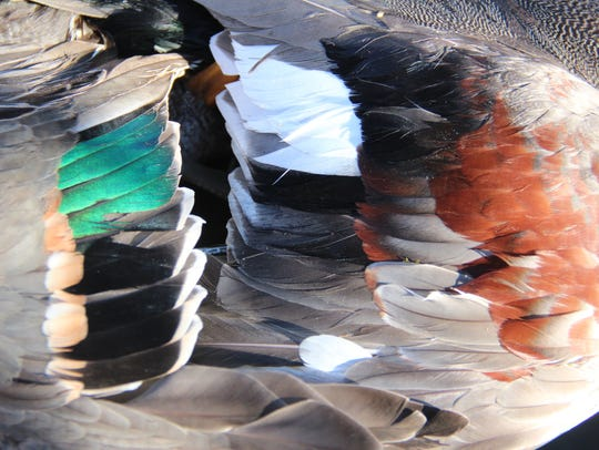 Wing feathers from a green-winged teal (left) and a