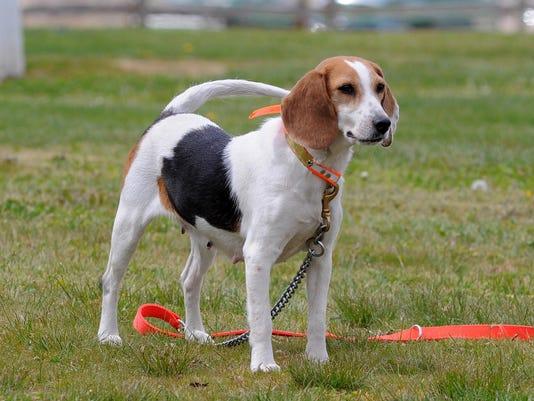 IMG_cos_0903_beagles.jpg_1_1_V78E7KSM.jpg_20140903.jpg