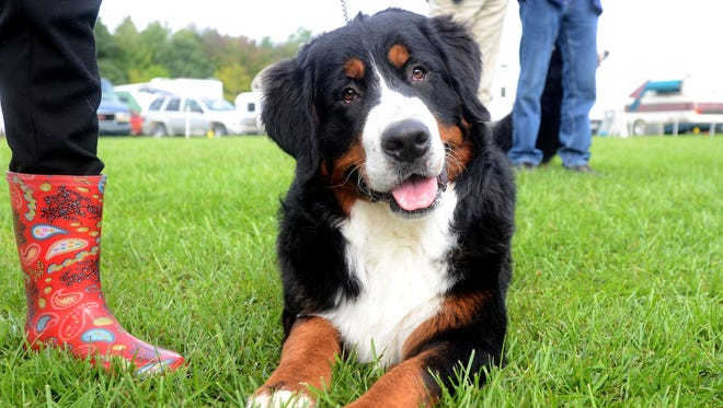Valentio, a Bernese mountain dog, lays down before his show at the St. Clair Kennel Club dog show at Goodells County Park.