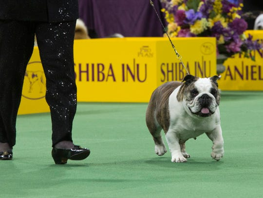 Annabelle the bulldog is the  winner of the non-sporting