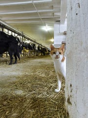 Animals lovers at heart, the Cihlars also take in and care for abandoned cats on their farm. Tina M. Gohr/USA TODAY NETWORK-Wisconsin