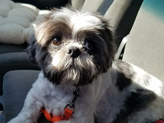 Sam'e came into the shelter, because his dad was going into a nursing home. He's a 9-year-old shih tzu who is a spunky little man, but still would enjoy some quality couch time. Sam'e does have allergies, and we're working to figure out what they're from and how to help him. His new owner will have to have regular check-up and maintenance care for the allergies. This sweetheart needs a second chance. Look at that face!