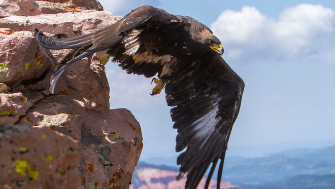 The Southwest Wildlife Foundation dedicated an eagle release in honor of the firefighters who battled the Brian Head fire on Friday, July 21, 2017, in Brian Head, Utah.