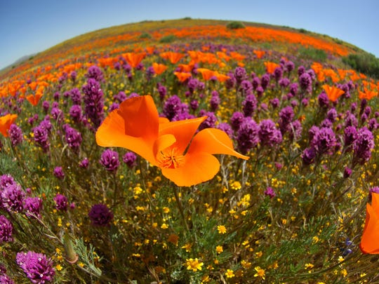 The spectacular Antelope Valley California Poppy Preserve is a sight worth the drive if you time the trip right.