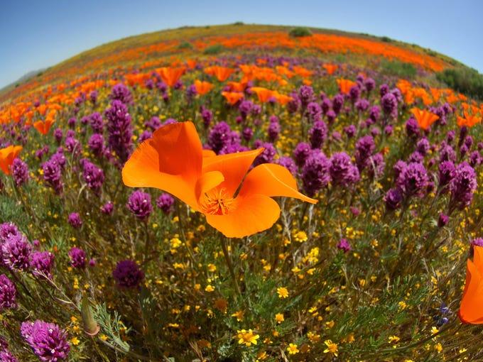 Poppy Reserve (3)