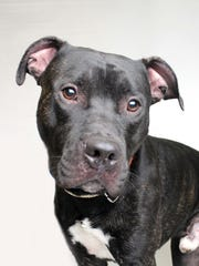 What's got brown eyes, fantastic house manners and loves other pooches? Droolius Caesar! He's a 2-year-old, happy go lucky dog, and adores a good bout of wrasslin' with other dogs. Come meet him at Young-Williams Animal Center. Info: 865-215-6599 or visit www.young-williams.org.