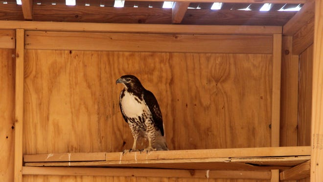 This red-tailed hawk will be released into the wild during Saturday's work day.