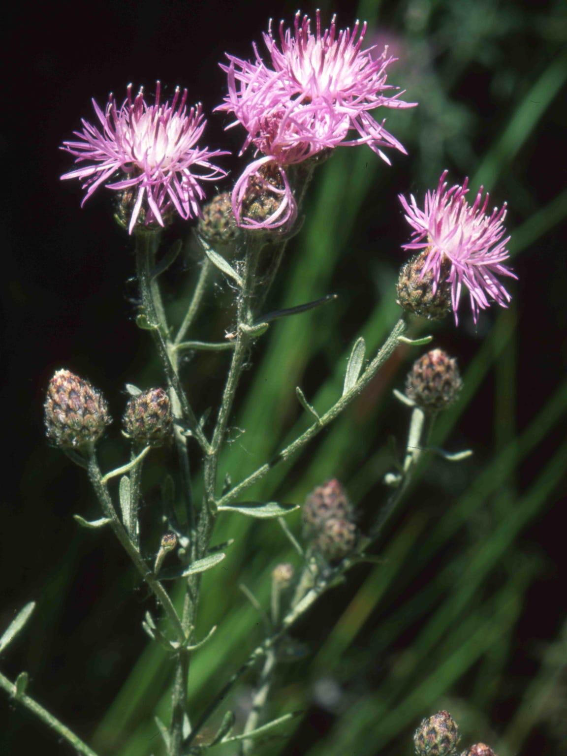 -spotted knapweed.jpg_20120723.jpg