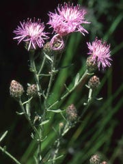 -spotted knapweed.jpg_20120723.jpg