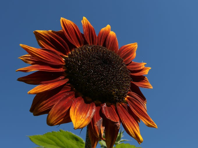 A Shock-O-Lat sunflower in bloom on Friday, Aug. 12,