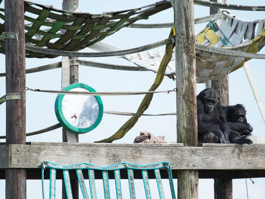 Two chimpanzees rest on a structure on Ron's Island