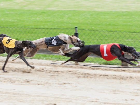 Greyhounds on racetrack.