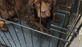 Oldies but Goodies Cocker Rescue found 46 dogs in a