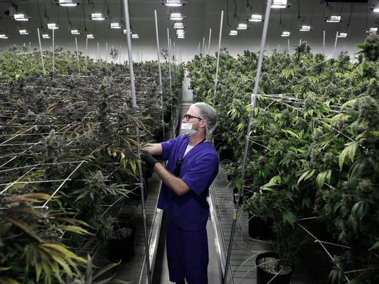 Alessandro Cesario, the facility's director of cultivation, works with marijuana plants at the Desert Grown Farms cultivation facility in Las Vegas.
