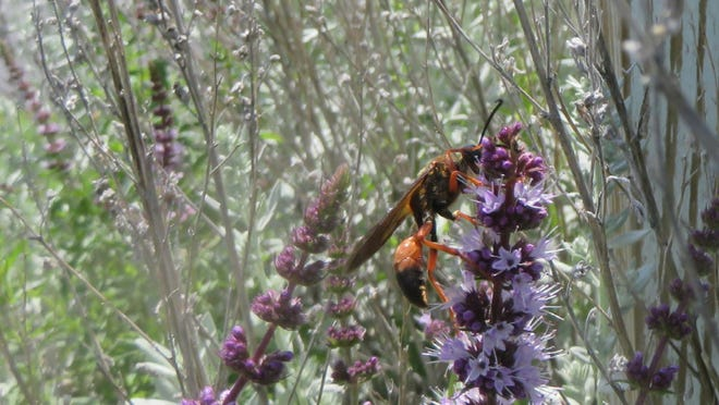 A male (no stinger), Great Golden Digger Wasp sips nectar in northern Columbia County in August.