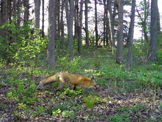 A red fox is shown in this Snapshot Wisconsin image captured in Dodge County.