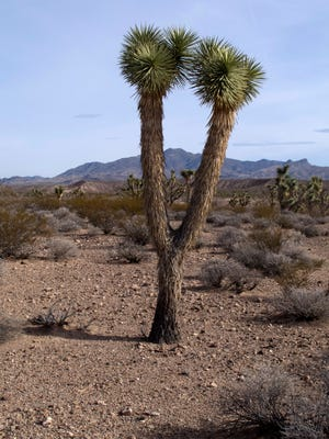 A Joshua tree stands in the Beaver Dam Wash National Conservation Area.