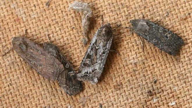 Army cutworms, commonly known as miller moths, were almost nonexistent this year in Northern Colorado.