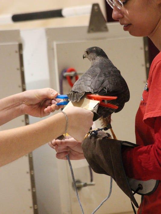 Bird-of-prey-at-Sportsman-Show.jpg