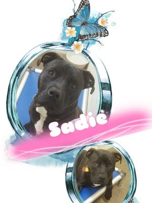 Sadie is a 1-year-old pit bull who loves people. She likesit here at the shelter, but she hasbeen here a couple months now. She likes to cuddle up in your lap and loves hers toys! Check with your city on pit bull ordinances and come out to the Humane Society of North Central Arkansas,2656 AR Hwy 201 N, and ask to see Sadie. For more information, call(870) 425-9221.